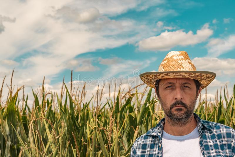 Portrait of serious agronomist in corn maize field stock images