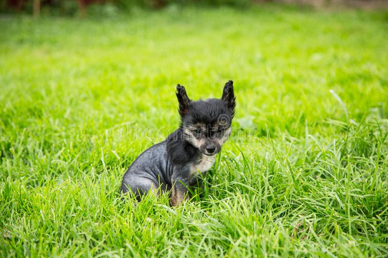 Portrait of black hairless puppy breed chinese crested dog sitting in the green grass on summer day. Portrait of serious black hairless puppy breed chinese royalty free stock photos