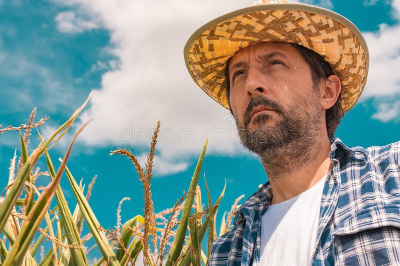Portrait of serious farmer in corn maize field stock images