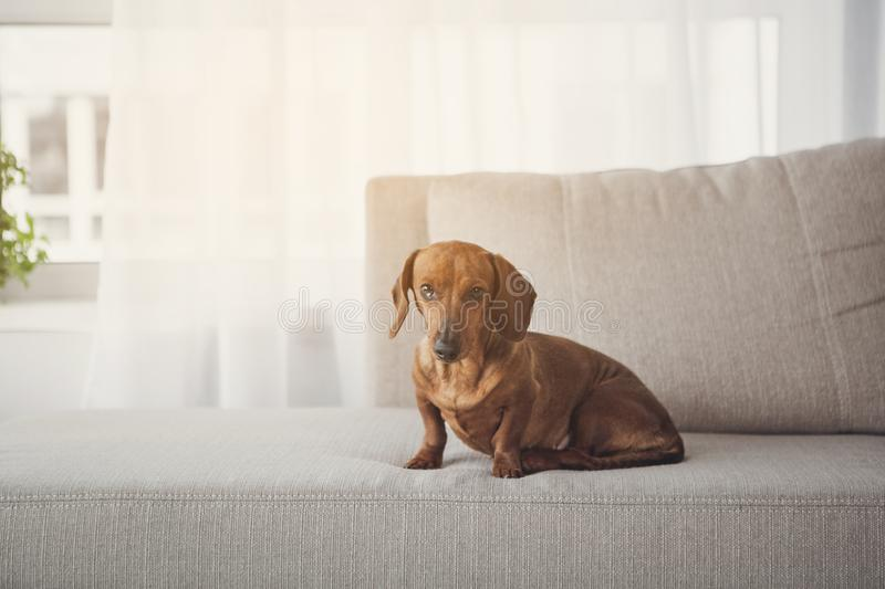 Noble long-bodied dachshund sitting on sofa. Portrait of serious small brown dog with floppy ears on couch. Copy space stock image