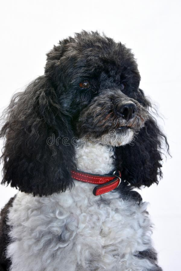 Harlequin poodle seven years  old royalty free stock image