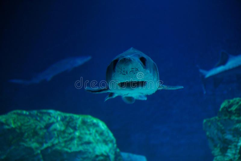 Portrait of a shark in the aquarium. royalty free stock photography