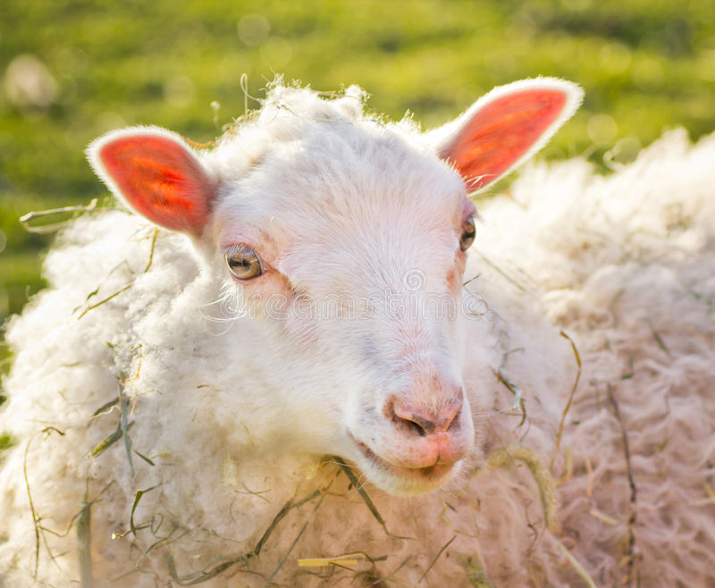 Portrait of a sheep. A portrait of a sheep on a farm outside Stockholm, Sweden stock photos