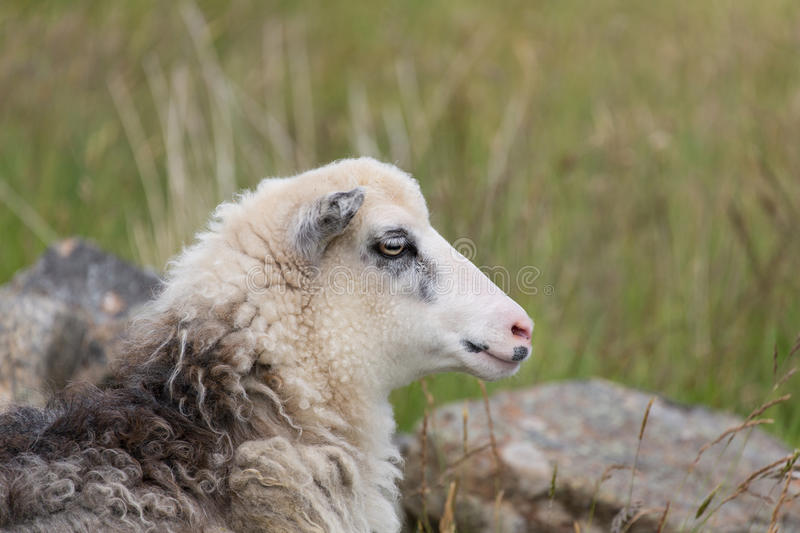 Portrait of a sheep. A Portrait of a sheep in the mountains royalty free stock images