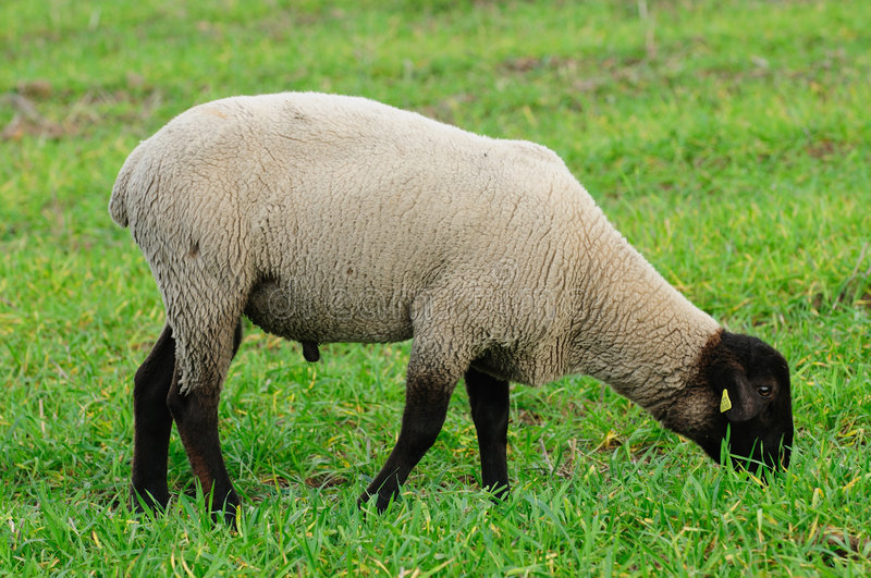 Portrait of a sheep. On a green meadow royalty free stock photos