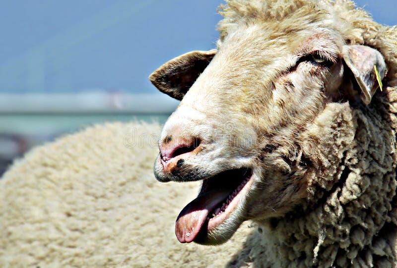 Portrait Of Sheep Free Public Domain Cc0 Image