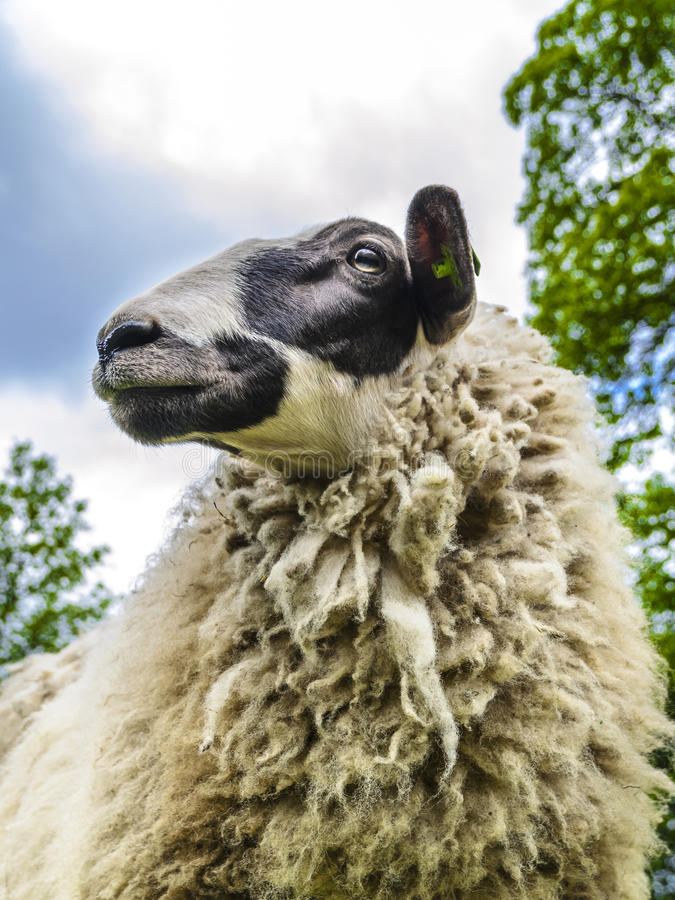 Portrait of a sheep. With a black and white face royalty free stock photos