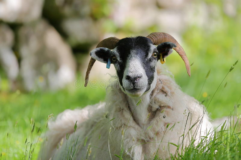 Portrait of a sheep in Camastianavaig near Portree, Isle of Skye, Highlands, Scotland, UK. Portrait of a sheep in Camastianavaig near Portree, Isle of Skye stock photo
