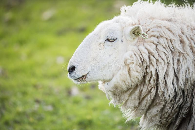 Portrait of a sheep in countryside, brecon beacons royalty free stock photography