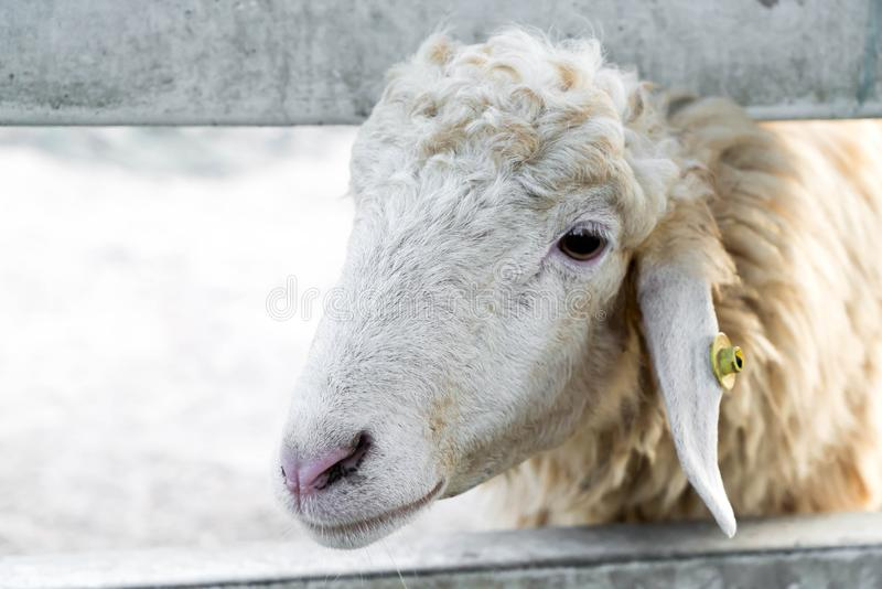 Portrait of sheep. In farm royalty free stock image