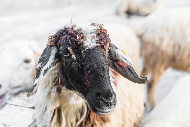 Portrait of sheep. In farm stock image