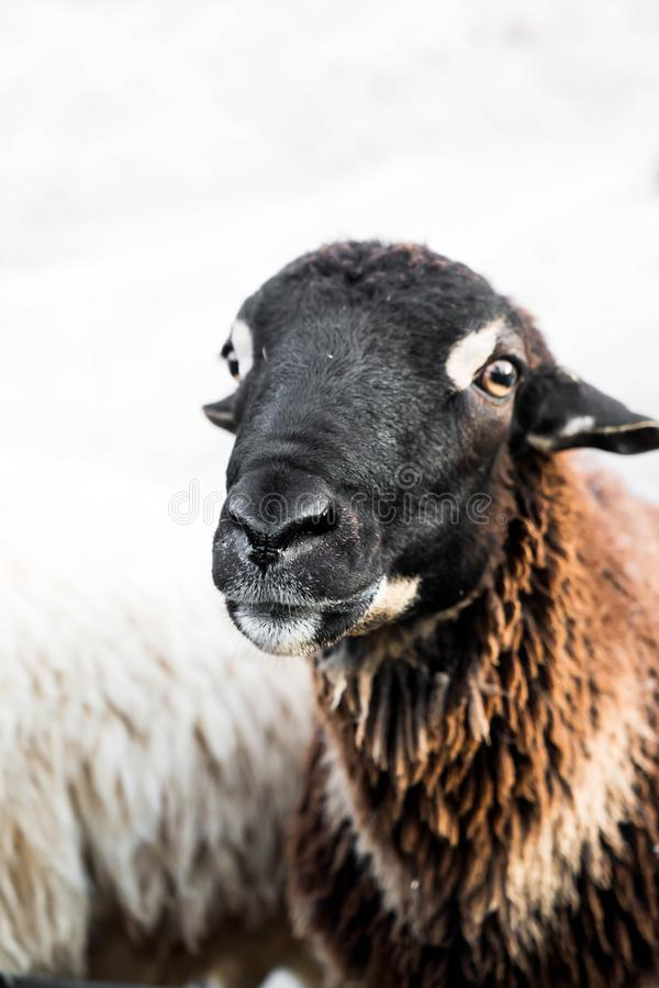 Portrait of sheep. In farm royalty free stock photos