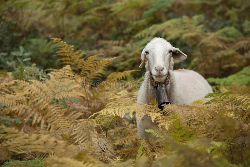 Portrait of sheep among ferns. Looking at camera stock photos