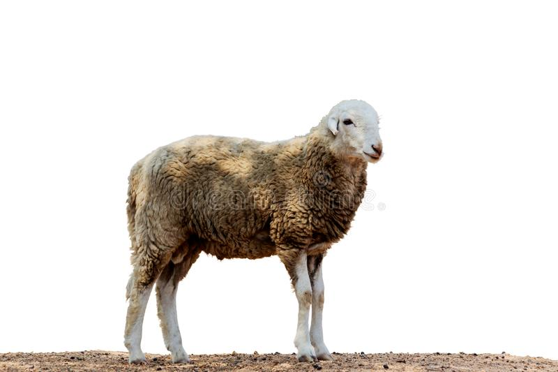 Portrait of a sheep isolate wite background. Portrait of a sheep isolate wite background stock photography