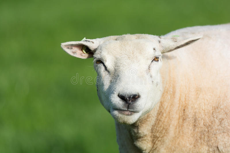 Portrait sheep. Portrait of sheep in meadow royalty free stock photo