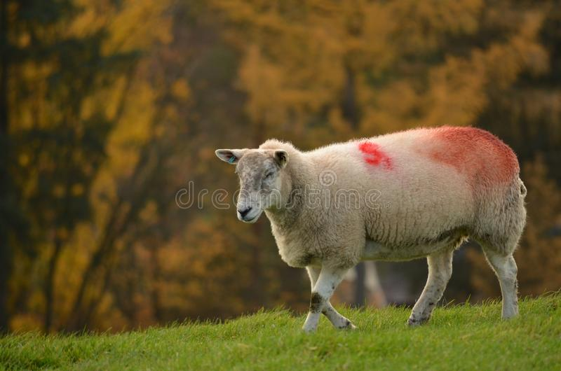 Portrait of a sheep on the meadow. Portrait of a sheep walking on the grass in the garden in a nice, sunny day stock photo
