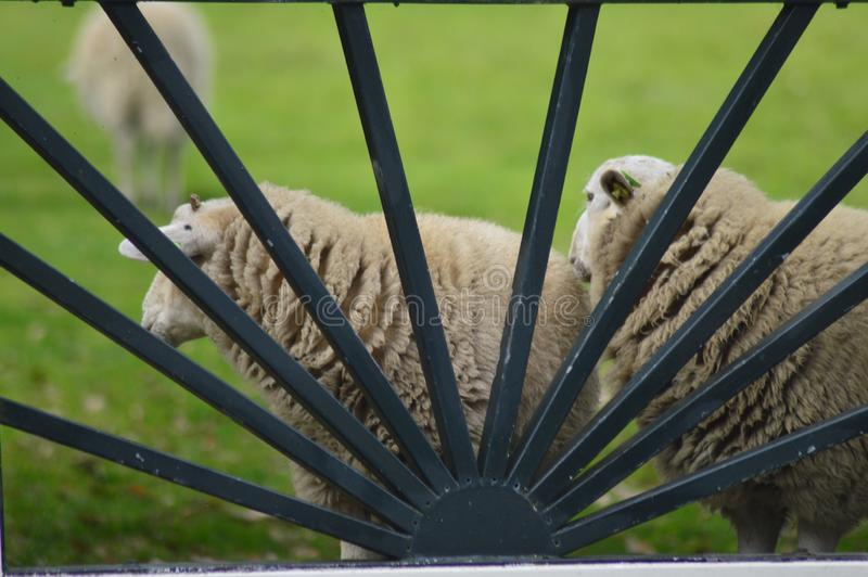 Portrait of a sheep. In the Netherlands, spend weekend outside of the city with fresh air and nature background. Date time and morning stock image