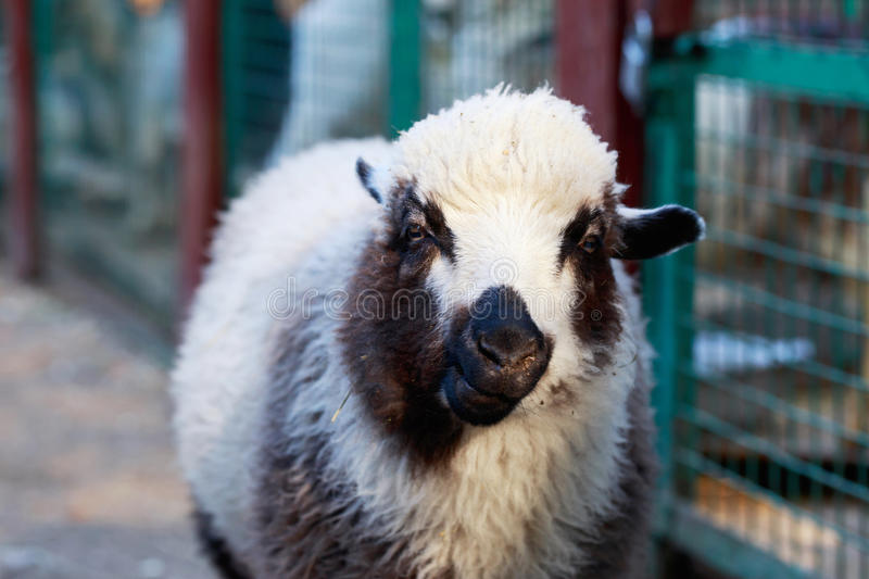 Portrait of a sheep. In the outdoor stock photography