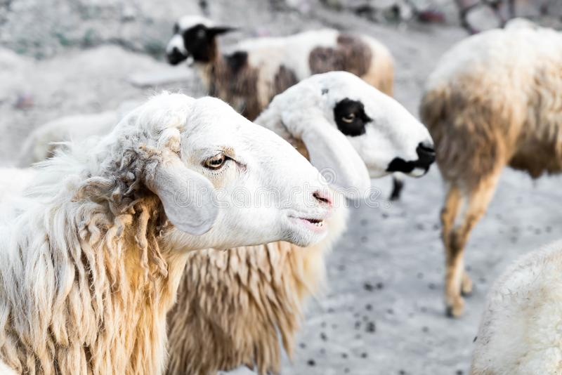 Portrait of sheep. In farm stock images
