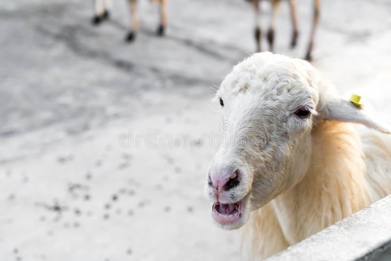 Portrait of sheep. In farm royalty free stock photo