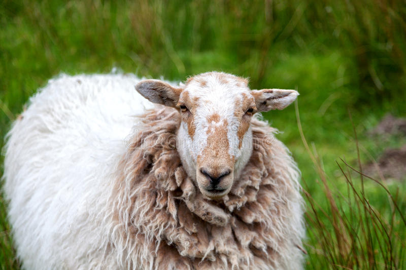 Portrait of a sheep. On the green meadow stock photo