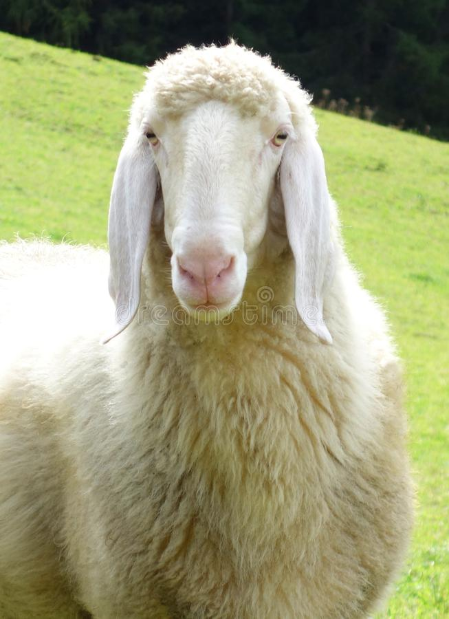 Portrait of a sheep. Portrait of a white sheep in england stock image