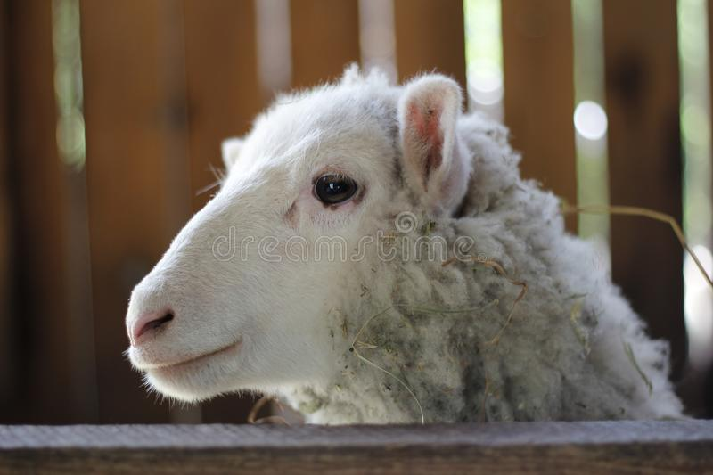 Portrait of a sheep. In a wooden farm, with some hay in its wool royalty free stock images