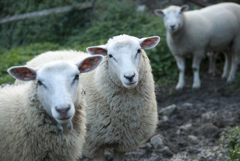 Portrait of sheep with wool. Group of sheep looking at the camera stock photos