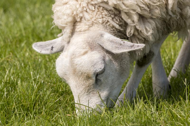 Close up of a sheep grazing on the IJsselmeer dyke. Portrait of a sheep with wool coat grazing in The Netherlands royalty free stock images
