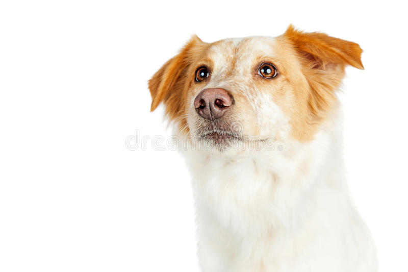 Portrait Shepherd Crossbreed Dog Looking Side. Closeup portrait of mixed Border Collie breed dog with attentive expression looking up. Isolated on white royalty free stock photography