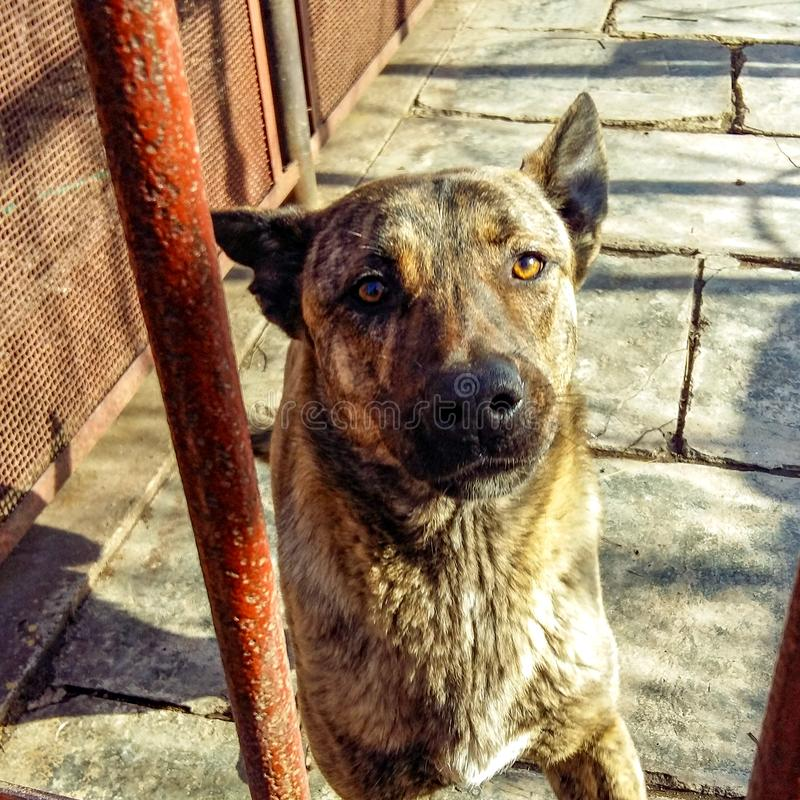Portrait of a shepherd dog through the gate.  royalty free stock photography