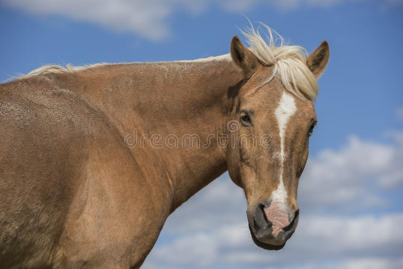 Shetland pony horse in nature looking at camera. Blue sky with clouds. Horizontal. Portrait of a Shetland pony horse in nature looking at camera. Blue sky with stock photography