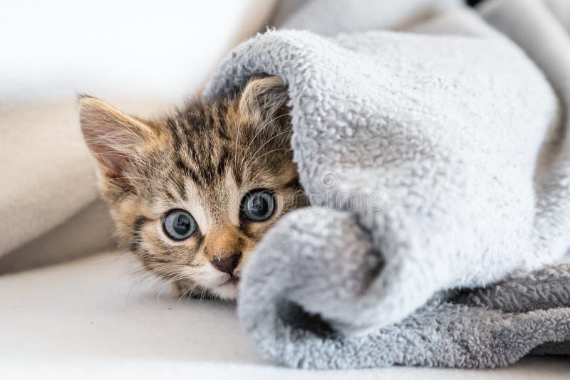 Kitten under blanket stock photo