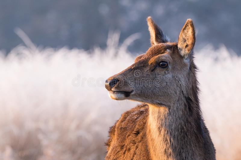 Portrait of a Female Red Deer at Sunrise in England stock photography