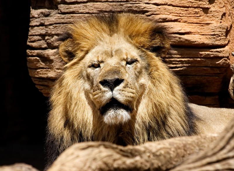 A portrait shot of a large male lion. royalty free stock image