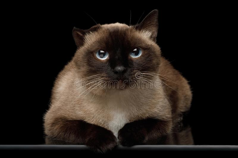 Siamese cat with damaged ear of otitis on black background. Portrait of Siamese Cat with damaged ear after otitis Gazing on Isolated Black Background royalty free stock image