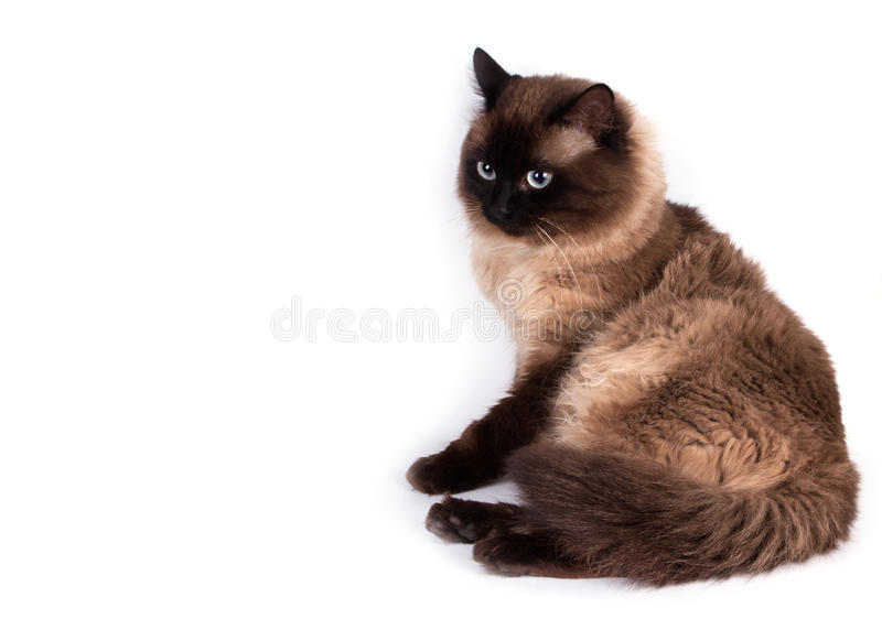 Portrait of a Siamese cat. On a white background. Pets stock image