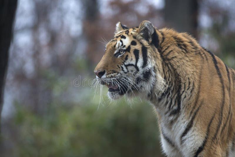 Portrait of siberian or Amur tiger. Portrait of wild free roaming siberian or Amur tiger stock photography