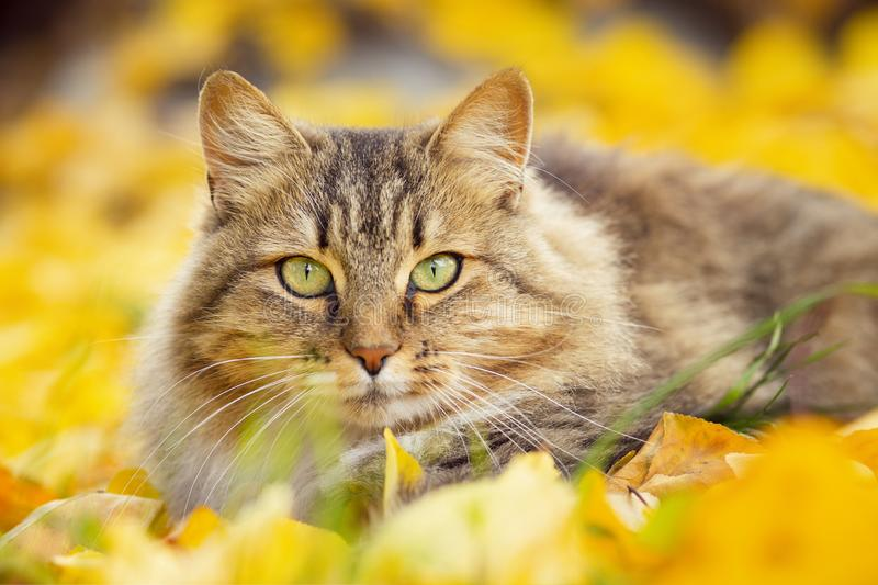 Portrait of a Siberian cat lying on the fallen yellow foliage, pet walking on nature in the autumn stock photos