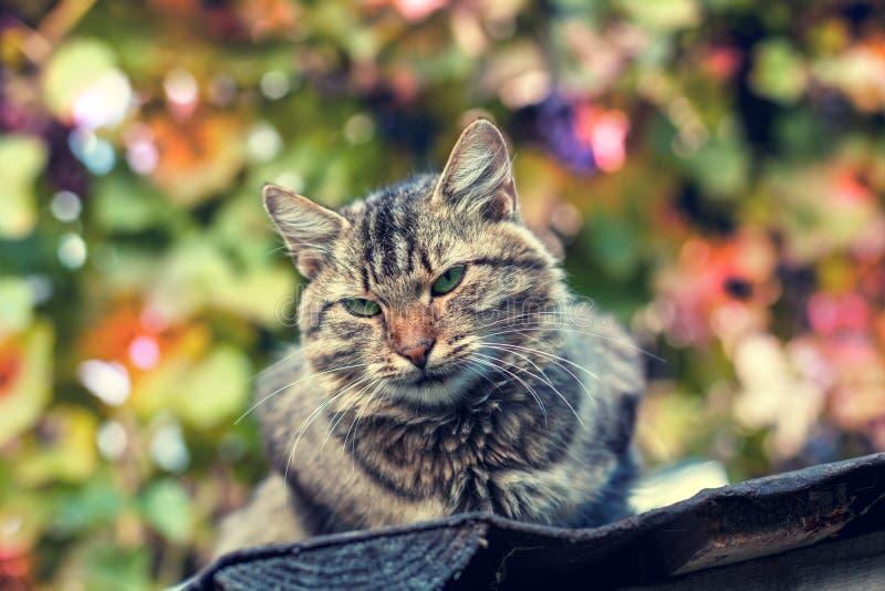 Portrait of siberian cat. Outdoor in summer stock photos