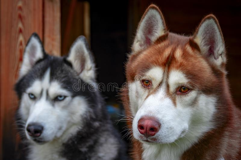 Portrait of Siberian huskies on a wooden background. Adorable fluffy husky dogs. Cute dog head. royalty free stock image