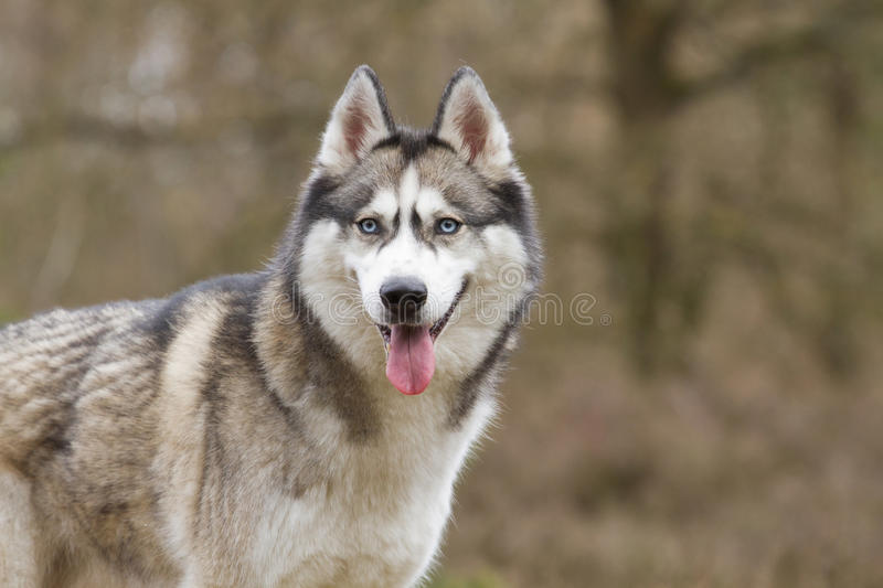 Portrait of a Siberian husky royalty free stock images