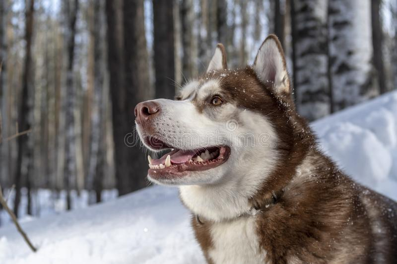Portrait siberian husky dog on the forest background in beautiful winter day after the snowfall while walking in nature. stock photography
