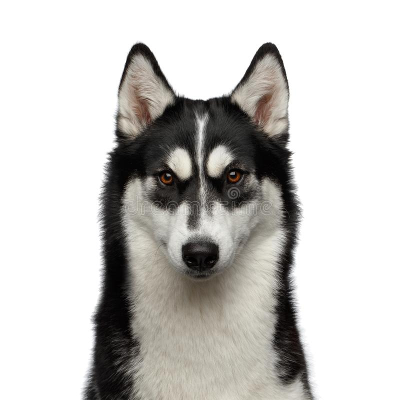 Siberian Husky Dog with funny eyebrows on Isolated White Background. Portrait of Siberian Husky Dog with funny eyebrows Gazing on Isolated White Background stock photography