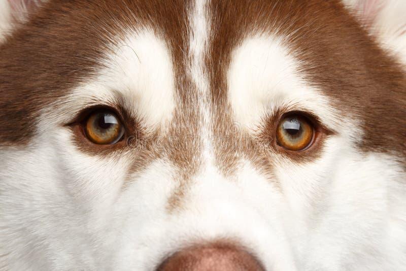 Portrait of Siberian Husky Dog on White Background stock image