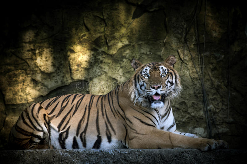 Portrait of a Siberian Tiger. Close-up royalty free stock photo