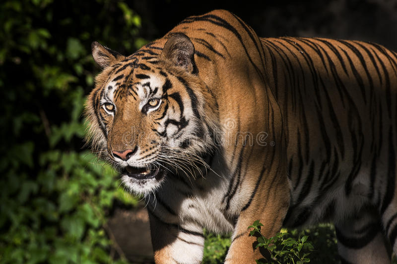 Portrait of a Siberian Tiger. Close-up stock photography