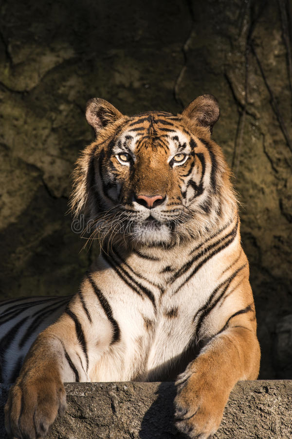 Portrait of a Siberian Tiger. Close-up stock photos
