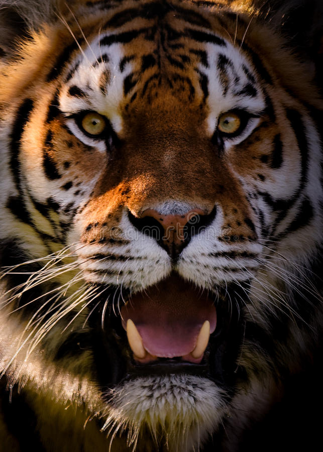 Portrait Of Siberian Tiger stock photo. Image of tigress ...