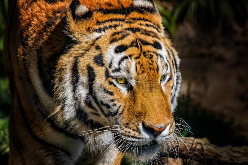 Portrait of a Siberian tiger head. The Siberian tigerlives in the Far East, particularly the Russian Far East and Northeast China stock images
